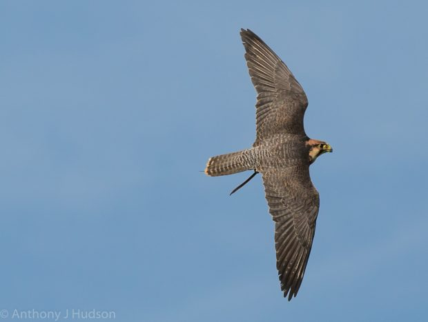 Sky our Lanner Falcon stretching her wings for the new show season