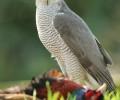 Jessops Bird of Prey Experience